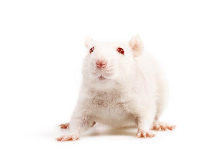 raton blanco