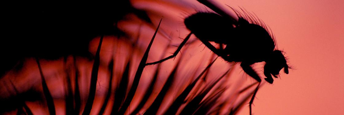 FANNIA CANICULARIS, las larvas son grandes consumidoras de material putrefacto